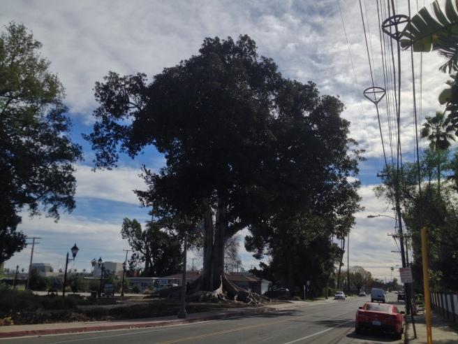 Moreton Bay Fig in Anaheim