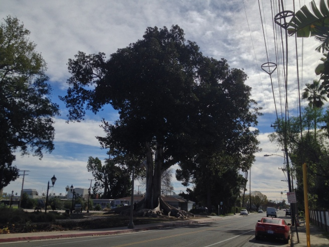 Moreton Bay Fig in Anaheim