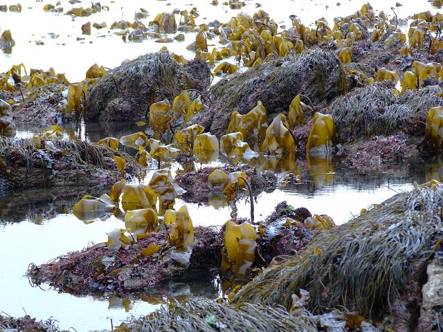brown_seaweed_oarweed_laminaria_digitata_4_01-02-06.jpg