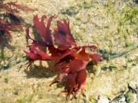 callophyllis-lac-iniata-240805-120