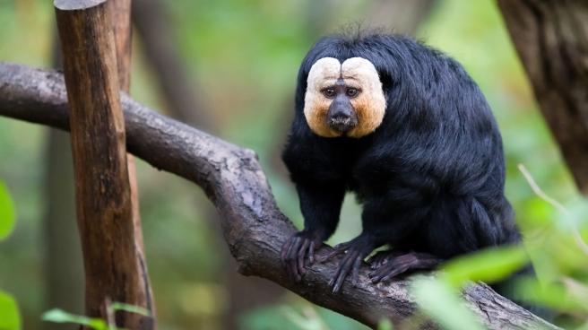 Saki-Monkey
