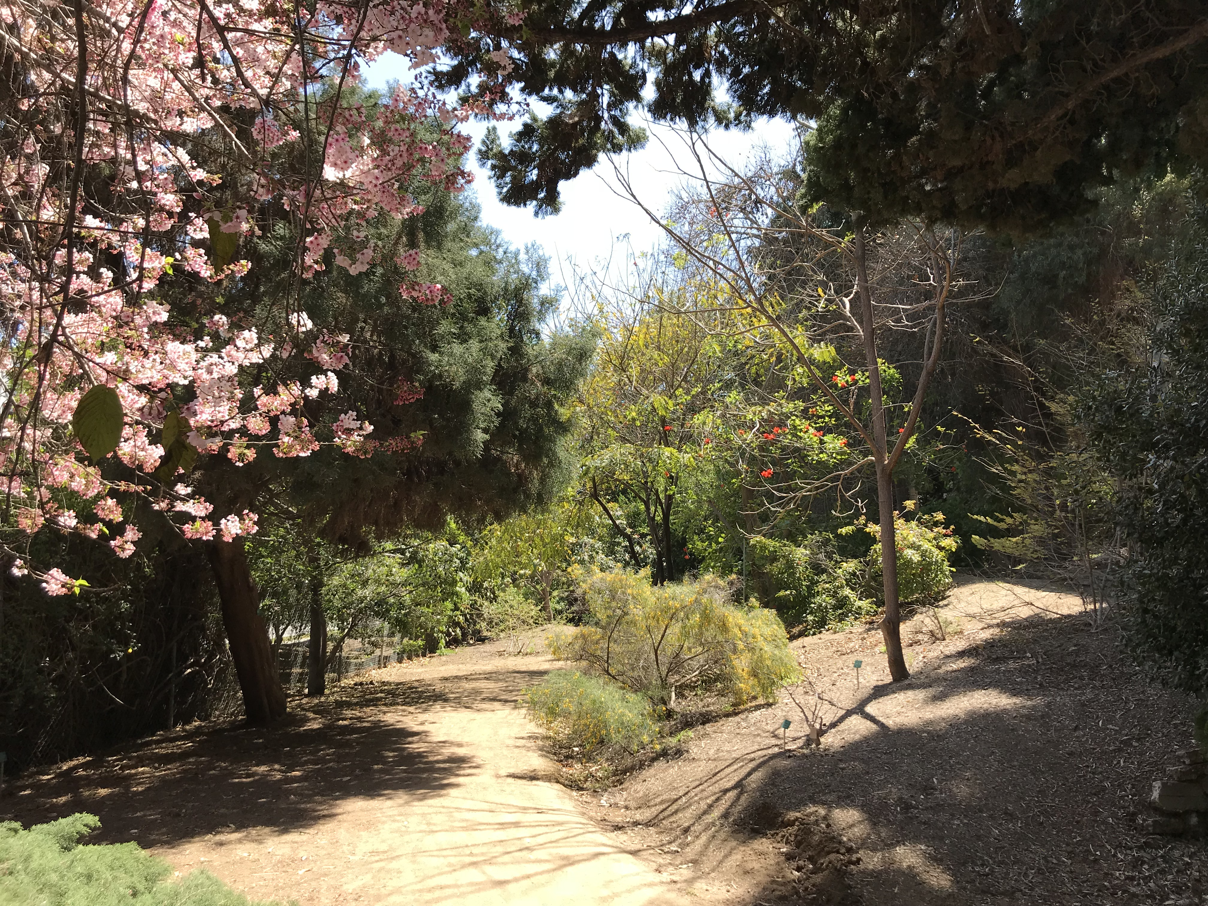 Cherry Blossoms and Acaia