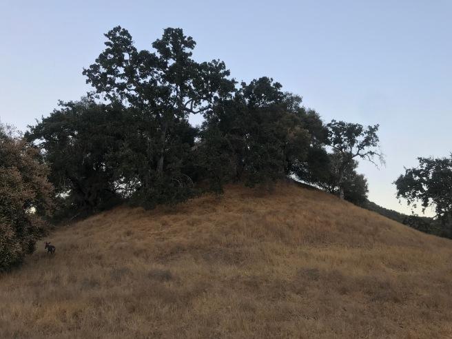 Oaks on a hill